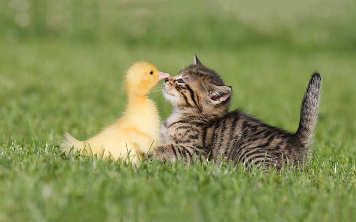 Ducklings  8