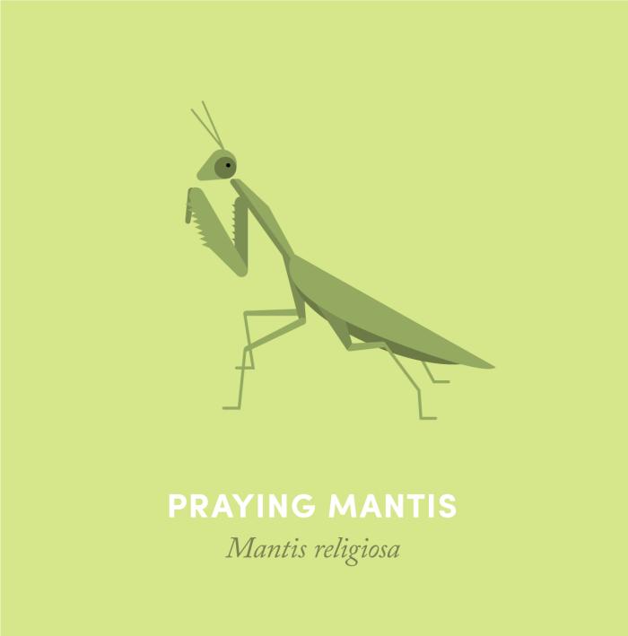 11-mantis