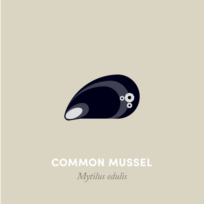 7-commonmussel