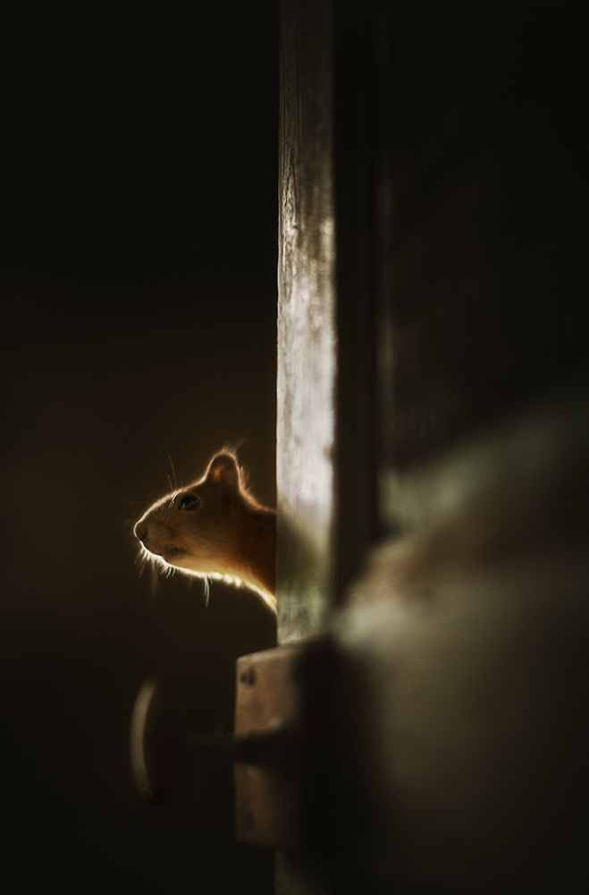 Squirrel (Sciurus vulgarius) Hide, Nikon D3s + 58/1.2 Salo, Finland