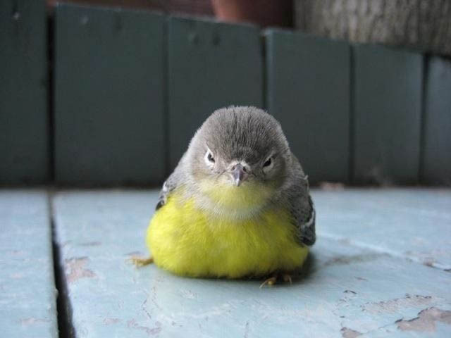 angry-looking-bird-actual